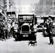 Traffic stops for a mother cat and the kitty in her mouth – New York, 1925